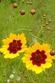 COREOPSIS TINCTORIA | Plains Coreopsis