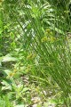 CAREX CRISTATELLA | Crested Oval Sedge