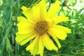 COREOPSIS LANCEOLATA | Lanceleaf Coreopsis