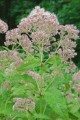 EUPATORIUM MACULATUM | Joe Pye Weed