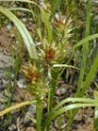 CAREX LUPULINA | Hop Sedge