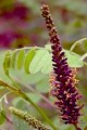 AMORPHA FRUTICOSA | False Indigo
