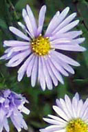 Sky Blue Aster