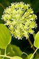 SMILAX HERBACEA | Carrion Flower