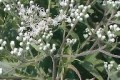 EUPATORIUM ALTISSIMUM | Tall Boneset