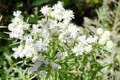 PYCNANTHEMUM TENUIFOLIUM | Slender Mountain Mint