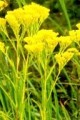 SOLIDAGO OHIENSIS | Ohio Goldenrod