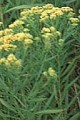 SOLIDAGO GRAMINIFOLIA | Grass-leaved Goldenrod