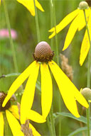 Native wildflower Yellow Coneflower