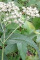 EUPATORIUM PERFOLIATUM | Boneset