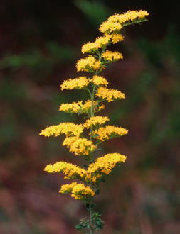 Grey Goldenrod