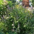 AGASTACHE SCROPHULARIAEFOLIA | Giant Purple Hyssop