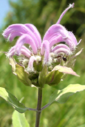 MONARDA FISTULOSA | Wild Bergomot  - Perennial Wildflower Lavender colored blooms July through September.