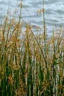 SCIRPUS ACUTUS | Hard Stem Bulrush
