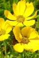 COREOPSIS PALMATA | Prairie Coreopsis