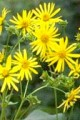 Cup Plant - SILPHIUM PERFOLIATUM