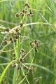 SCIRPUS ATROVIRENS | Dark Green Bulrush