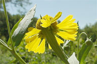 Sneezeweed