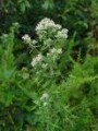 PYCNANTHEMUM PILOSUM | Hairy Mountain Mint
